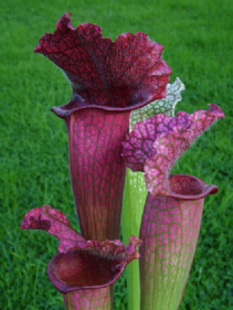 SH020 Sarracenia cv Juthatip Soper Medium